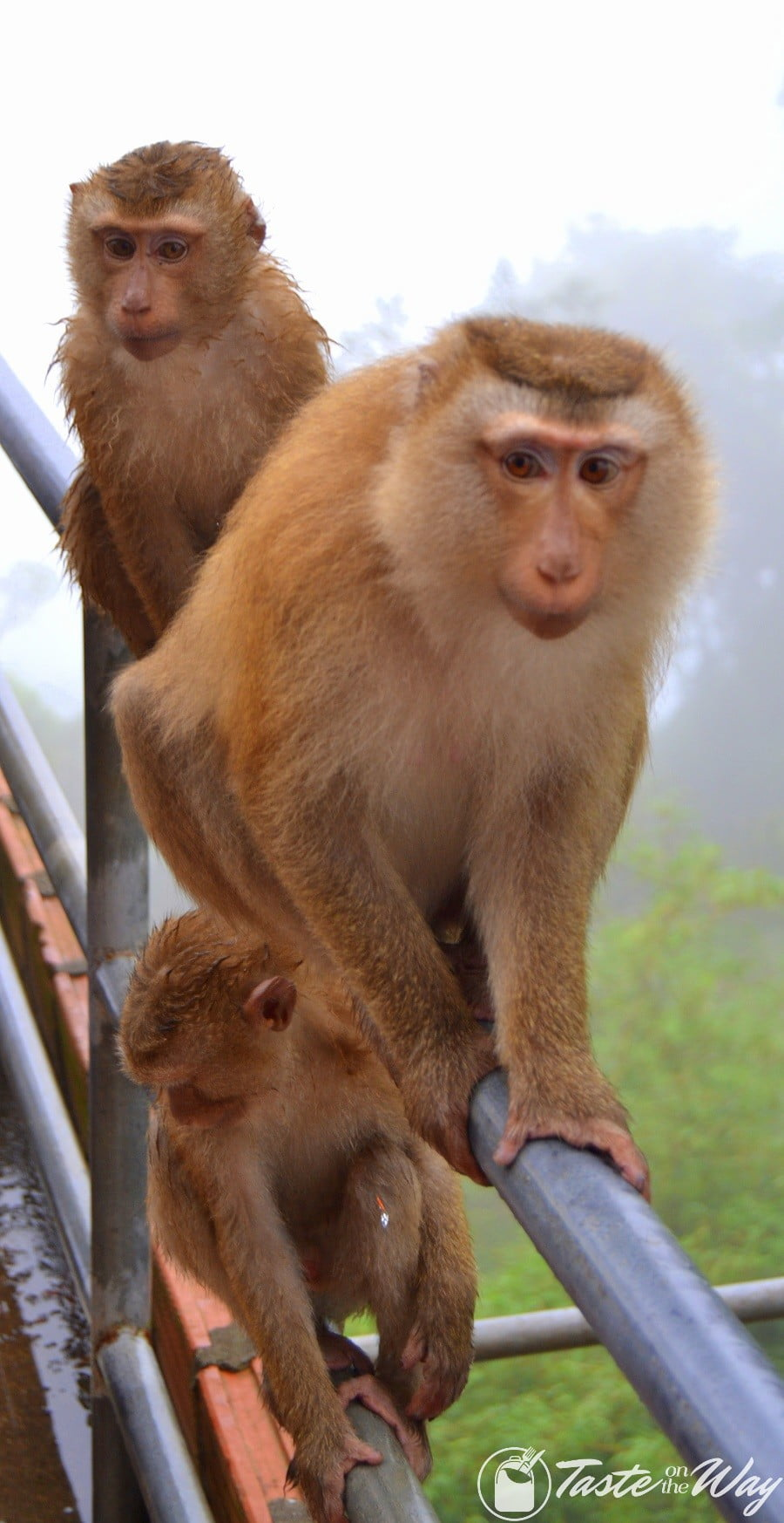 Monkeys at the Big Buddha #Phuket #Thailand #travel
